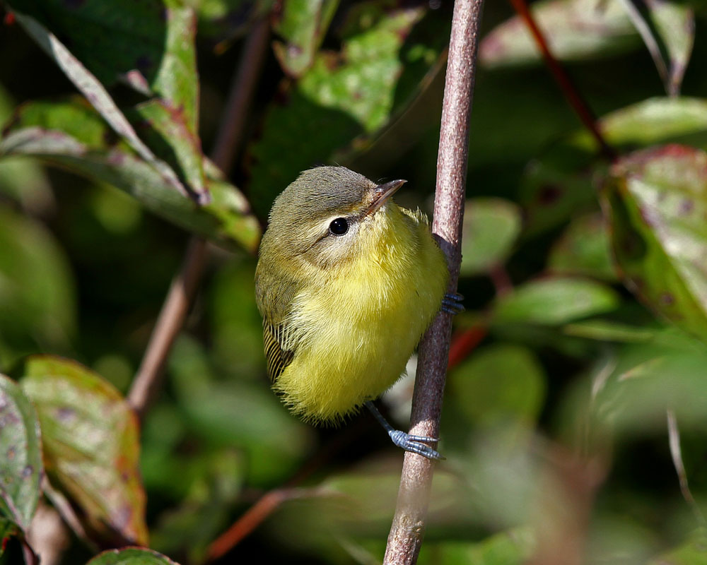 Philadelphia Vireo photo by Larry Dau